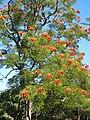 City Botanic Gardens Colvillea racemosa IMG 4275 (5707969411).jpg