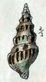 Clavus formosa 001.png