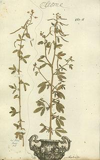 Cleome ornithopodioides- Herb. Linn.-850.18