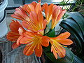Clivia flowers.JPG