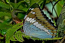 Close wing position of Bassarona durga Moore, 1857 – Blue Duke WLB DSC 4277.jpg