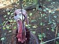 Closeup Of A Turkey In A Cage.JPG