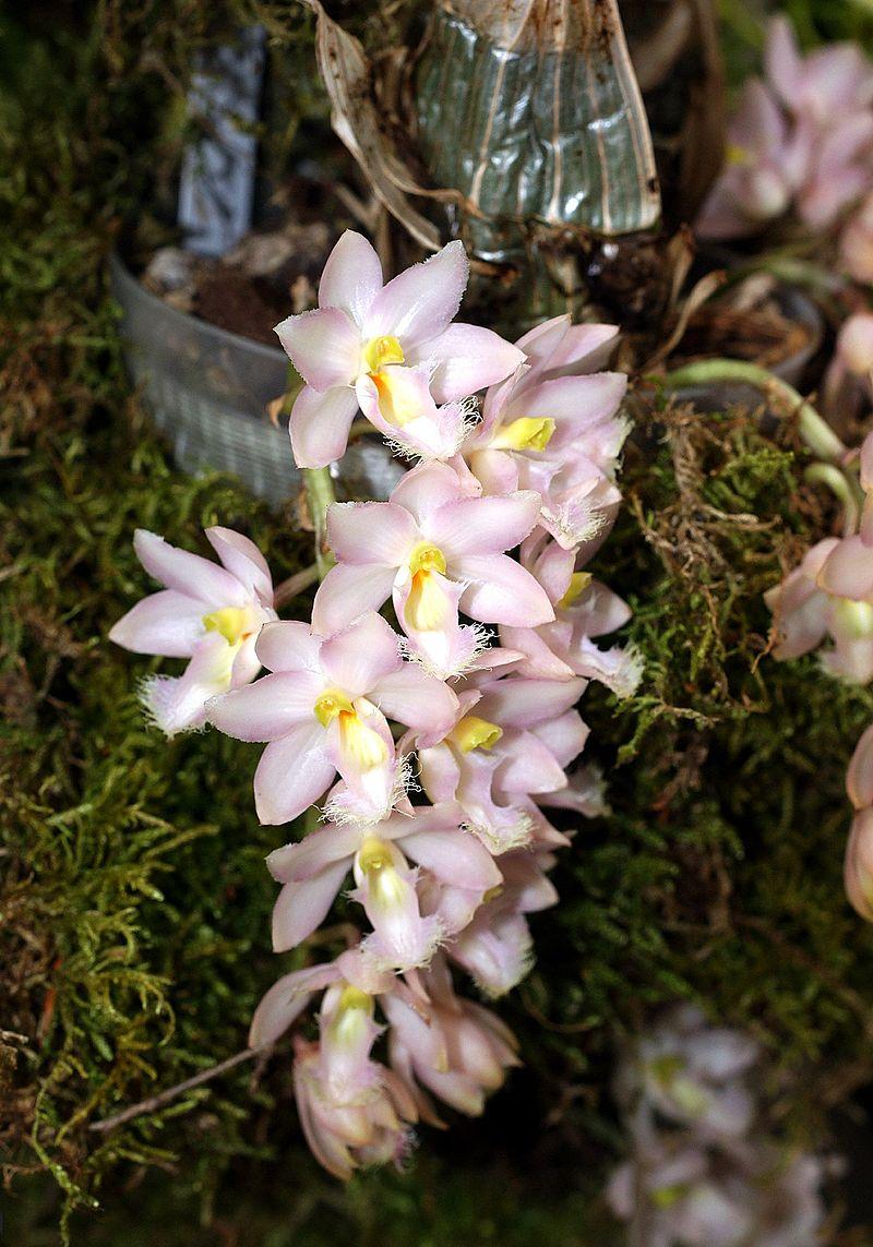 Clowesia rosea Orchi 014.jpg