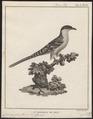 Coccystes glandarius - 1790-1832 - Print - Iconographia Zoologica - Special Collections University of Amsterdam - UBA01 IZ18800261.tif