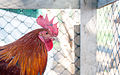 Cock in Margarita Island.jpg