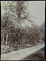 Collectie Nationaal Museum van Wereldculturen TM-60062340 Cacao plantage Trinidad fotograaf niet bekend.jpg