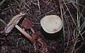 Collybia maculata (22843666658).jpg