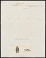 Coluber laevis - kop - 1700-1880 - Print - Iconographia Zoologica - Special Collections University of Amsterdam - UBA01 IZ11400237.tif