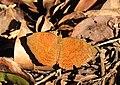 Common Castor Ariadne merione by Dr. Raju Kasambe DSCN4754 (6).jpg