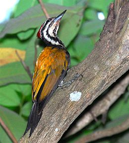 Common Flame-back Woodpecker