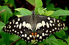 Common Lime Butterfly Papilio demoleus UP by Kadavoor.jpg