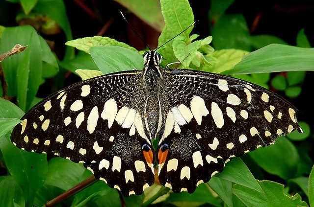 640px-Common_Lime_Butterfly_Papilio_demoleus_UP_by_Kadavoor.jpg
