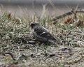 Common Redpoll, Sand Lake, MI, Feb 7, 2012 (6836133257).jpg
