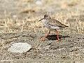 Common Redshank (Tringa totanus) (38741160775).jpg
