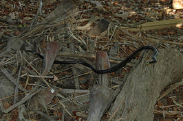 Common tree snake.jpg