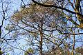 Como la copa de un pino (16878686796).jpg