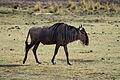 Connochaetes taurinus -Lake Manyara National Park, Tanzania-8.jpg