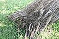 Conocarpus erectus 6zz.jpg