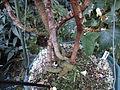 Conservatoire du bégonia 2015. Begonia baccata 02.JPG