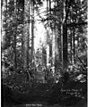 Construction crew building skid road, Wynooche Timber Company, near Montesano, ca 1921 (KINSEY 1616).jpeg