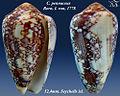 Conus pennaceus 7.jpg