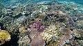 Coral scene on Palolo Deep Apia Samoa.jpg