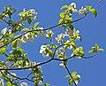 Cornus florida ssp urbiniana 4.jpg
