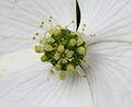 Cornus kousa fleur jd plt.jpg