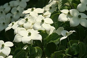 Cornus Kousa flowers. Photo taken by me, May 2...
