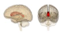 Corpus callosum - Wikipedia