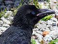 Corvus macrorhynchos(head).jpg