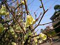 Corylopsis pauciflora1.jpg