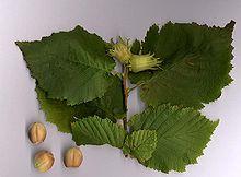 Corylus avellana.jpg