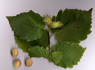Corylus avellana - Common hazel leaves and nuts