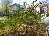 Cotoneaster tomentosus (1).jpg