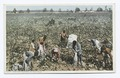 Cotton Pickers in the Field (NYPL b12647398-69474).tiff