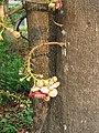 Couroupita guianensis - Cannon Ball Tree at Peravoor (33).jpg