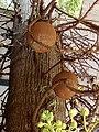 Couroupita guianensis fruits at Mridanga Saileswari Kshethram, Muzhakkunnu.jpg