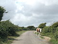 Cow in Culver Down Road.jpg
