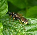Crabronidae. Mellinus arvensis - Flickr - gailhampshire (1).jpg