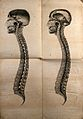 Cranium and vertebral column; two cross-sections. Lithograph Wellcome V0008450.jpg