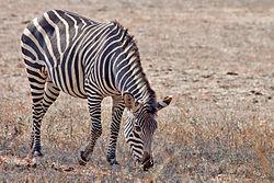 Crawshay's Zebra.jpg