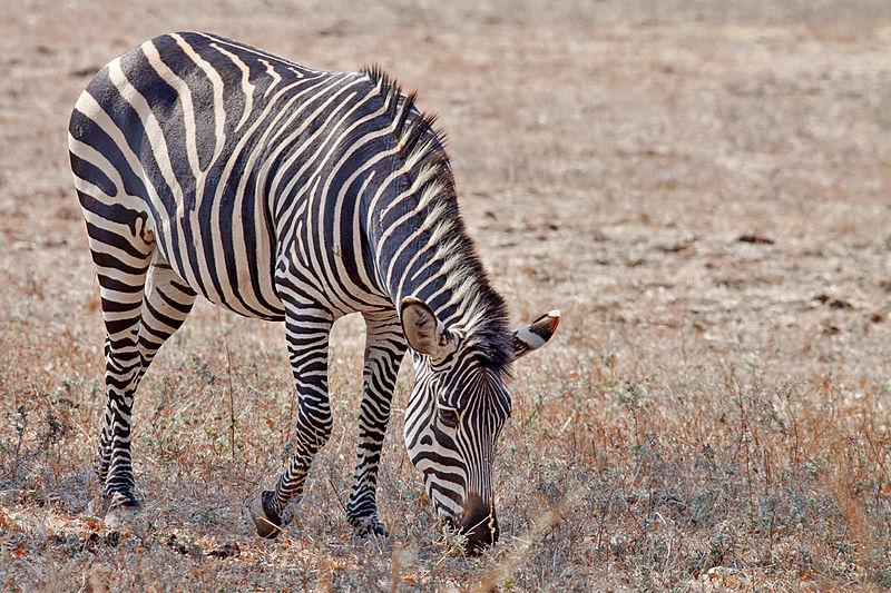 File:Crawshay's Zebra.jpg