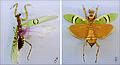 Creobroter pictipennis TPopp.jpg