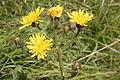 Crepis conyzifolia (Großkorb-Pippau) IMG 28447.JPG