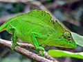 Crested Chameleon (Trioceros cristatus) (7609615072).jpg