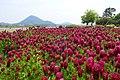 Crimson Clover Trifolium Incarnatum ベニバナツメクサ (256048805).jpeg