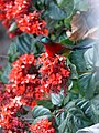Crimson Sunbird - Aethopyga siparaja - P1080052.jpg
