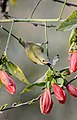 Crimson sunbird female.jpg