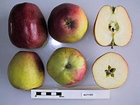 Cross section of Mother (LA73A), National Fruit Collection (acc. 1975-317).jpg